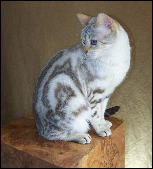 Lynx Point Snow Marble Bengal Cat Queen