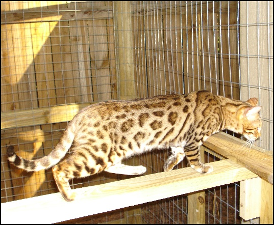 Brown Spotted (Donut Rosettes) Bengal Cat Stud