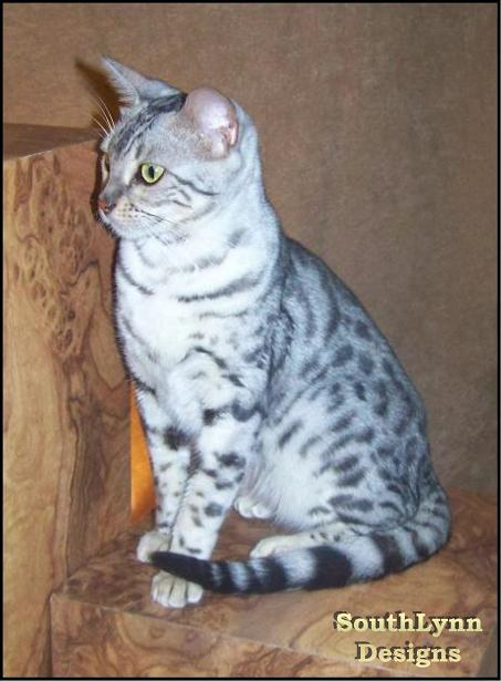 Black Silver Spotted Bengal Cat Queen
