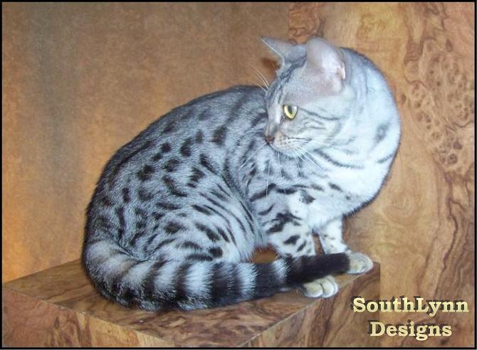 tabby calico cat