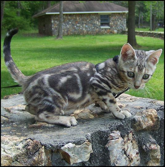 marbled silver tabby photos? - The Help Den - FeralFront