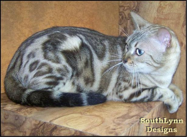 oriental shorthair cat rescue